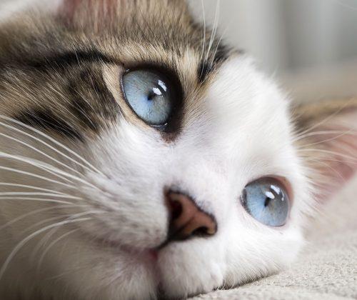 Chronic Kidney Disease (CKD) in Cats