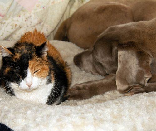 Cognitive Disfunction Pets